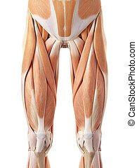 The anterior leg muscles