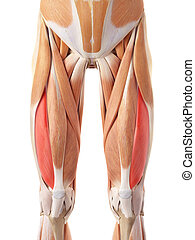 The vastus lateralis - medically accurate illustration of...