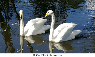 pair of whooper swan on lake