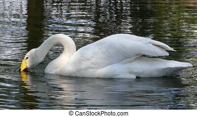 whooper swan on lake