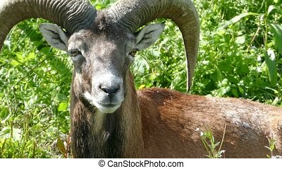 argali - mountain sheep Ovis ammon