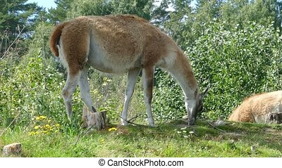 Lama guanaco grazing on meadow