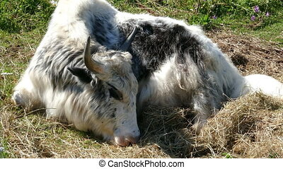 Yak lying on the grass