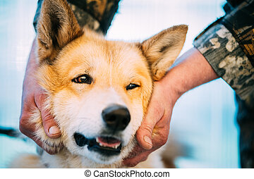 West Siberian Laika Close Up - West Siberian Laika is a...