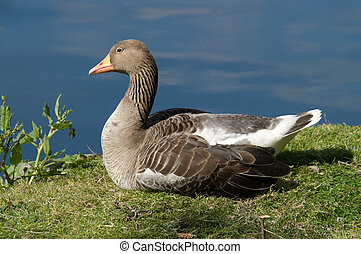 Duck sitting on water edge detailing texture of neck...