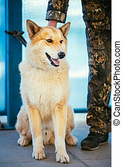 West Siberian Laika Siing On Floor - West Siberian Laika is...