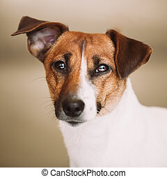 White small dog jack russell terrier - White Dog Jack...