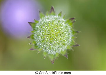 Field Scabious - Knautia arvensis in a macro shot
