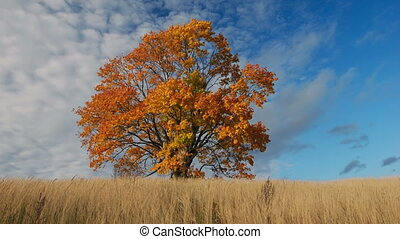 Maple tree showing the colors of au