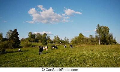 Cow summer landscape - Landscape shot of herd of cows...
