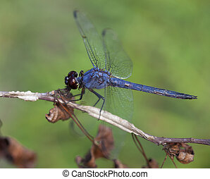 Blue dragonfly on a dead branch with a green background