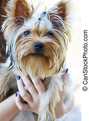 Yorkshire Terrier on owner's hands at home