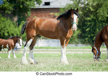 Young Clydesdale horse on a farm's - Young Clydesdale horse...