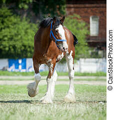 Clydesdale stallion walking in paddock