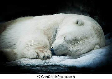Sweet dreams of a polar bear, isolated on black background.