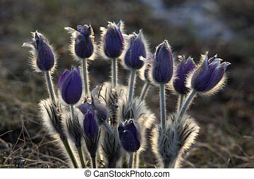 Bush of Flowers Pasqueflower - Flowers Pasqueflower in...