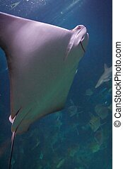 The southern stingray, Dasyatis americana, is a stingray of...