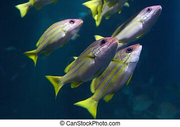 Yellow and blue stripped fish