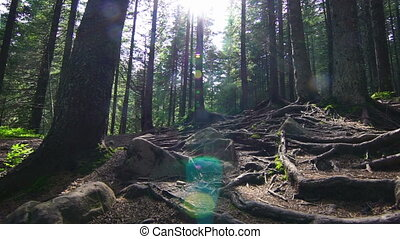 Tree Roots in a Magic Pine Forest on the Hillside