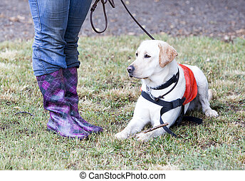 Trainer and labrador retriever guide dog - A trainer is...
