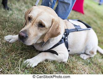 Golden retriever guide dog - Labrador retriever guide dog...