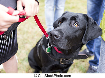 Black labrador guide dog before the last training for the...