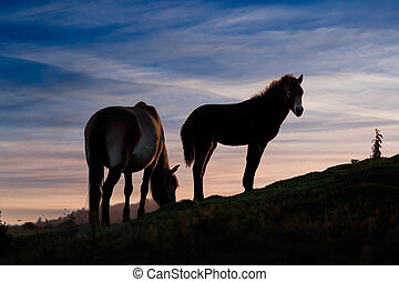 Exmoor ponies, mare and foal, at sunset - Beautiful wild...