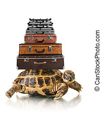 tortoise - typical tortoise with big heap suitcase on white...