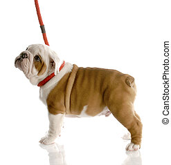 nine week old english bulldog puppy on a red leash