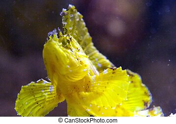 Scorpionfish - Scorpaenidae, the scorpionfish, are a family...