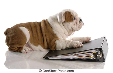 dog school - nine week old english bulldog puppy laying on binder filled with paper