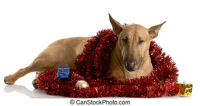 bull terrier wrapped in christmas garland with reflection on white background
