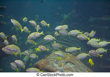 Yellow and grey stripped fishes - The bluestripe snapper,...