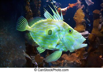 Congiopodidae is a family of scorpaeniform fishes native to...