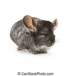 Chinchilla - Adorable chinchilla isolated on a white...