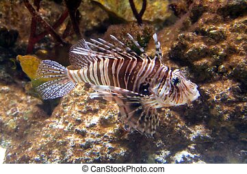 The red lionfish Pterois volitans venomous coral reef fish...