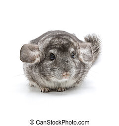 Chinchilla - Adorable chinchilla isolated on a white...