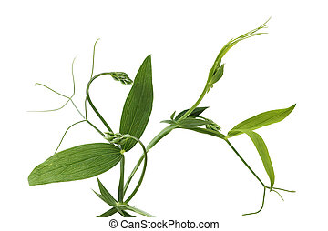 Everlasting Sweet Pea Vine - Everlasting Sweet Pea leaf and...