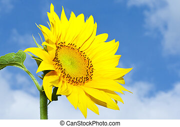 sunflower - picture of a beautiful sunflower against cloudy...