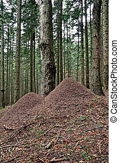anthill of ant rufa in the natural park in campigna,italy