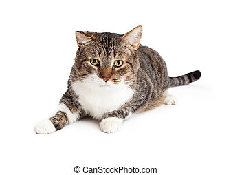 Adult Tabby Cat Laying Looking Forward