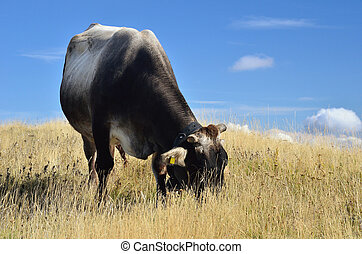 grazing cow on the hill in summer