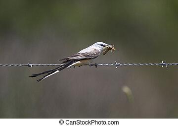 Male Scissor-tailed Flycatcher Eating a Locust