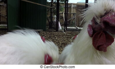 Decorative white hens in cage - Decorative white hens in the...