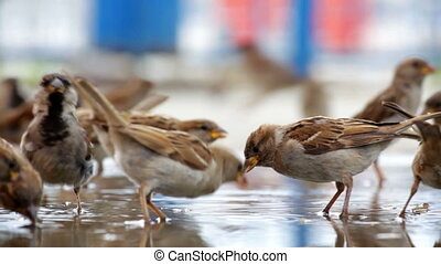 pack of sparrows bathes in a big pool