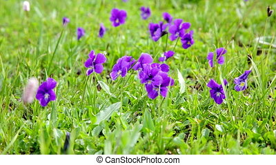 Big glade with blossoming violets - Big glade with the...