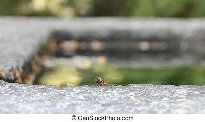 bees drinking - swarm of bees drinkng at stone fountain