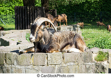 Billy goat with big horns