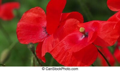 Red poppy flowers - Field of red poppy flowers in spring...