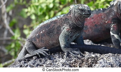 Marine Iguana from the Galapagos - The Marine Iguana,...